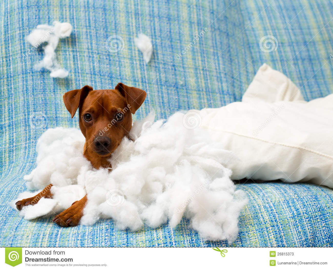 Naughty Playful Puppy Dog After Biting A Pillow Stock