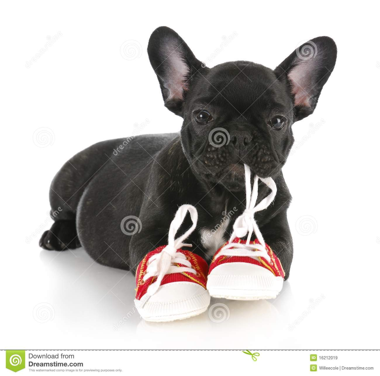 Naughty Puppy Royalty Free Stock Images Image 16212019