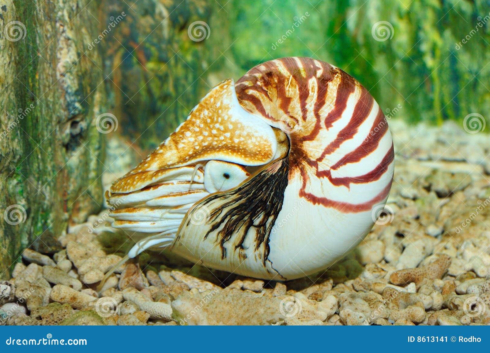 Nautilus  chambré