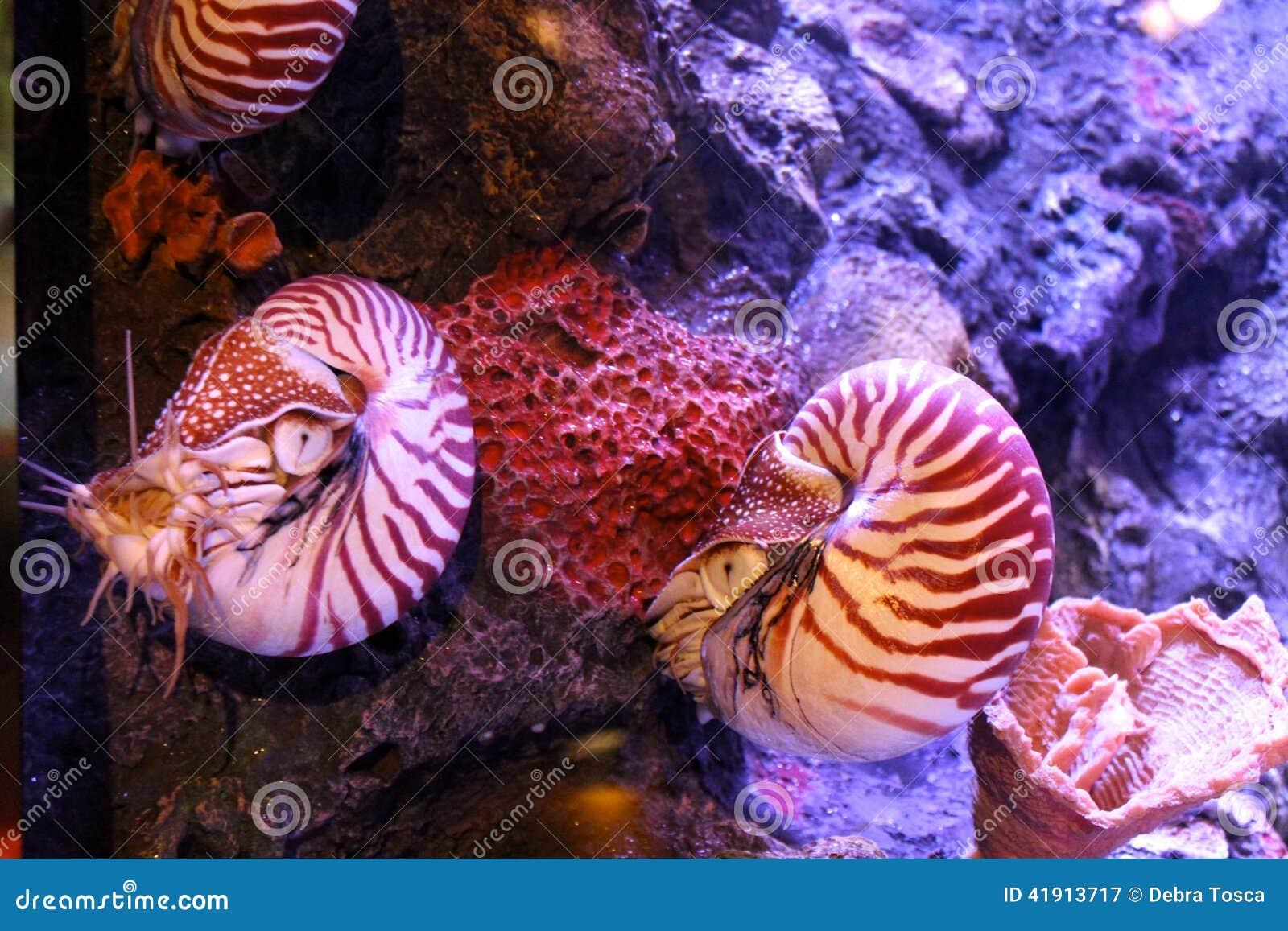 Nautilus compartimentado