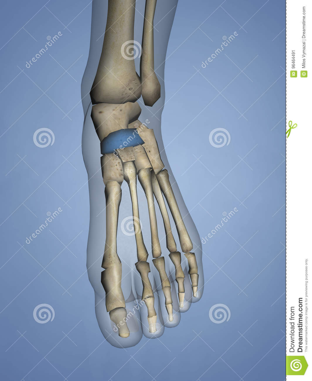 Navicular Bone, 3D Model stock illustration. Illustration of tarsal ...