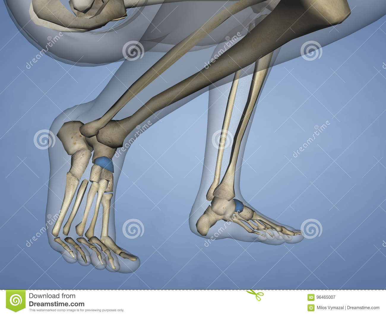 Navicular Bone, 3D Model stock illustration. Illustration of foot ...