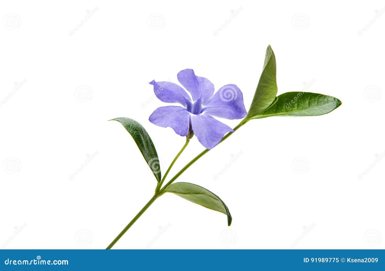 Navy blue flower vinca stock image image of medicinal 91989775 flower vinca on a white background izmirmasajfo