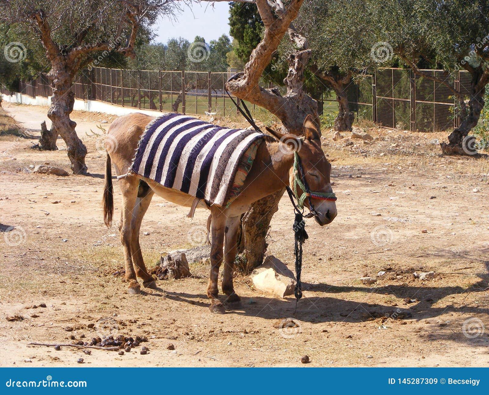 Âne avec les oliviers en Tunisie, Afrique du Nord
