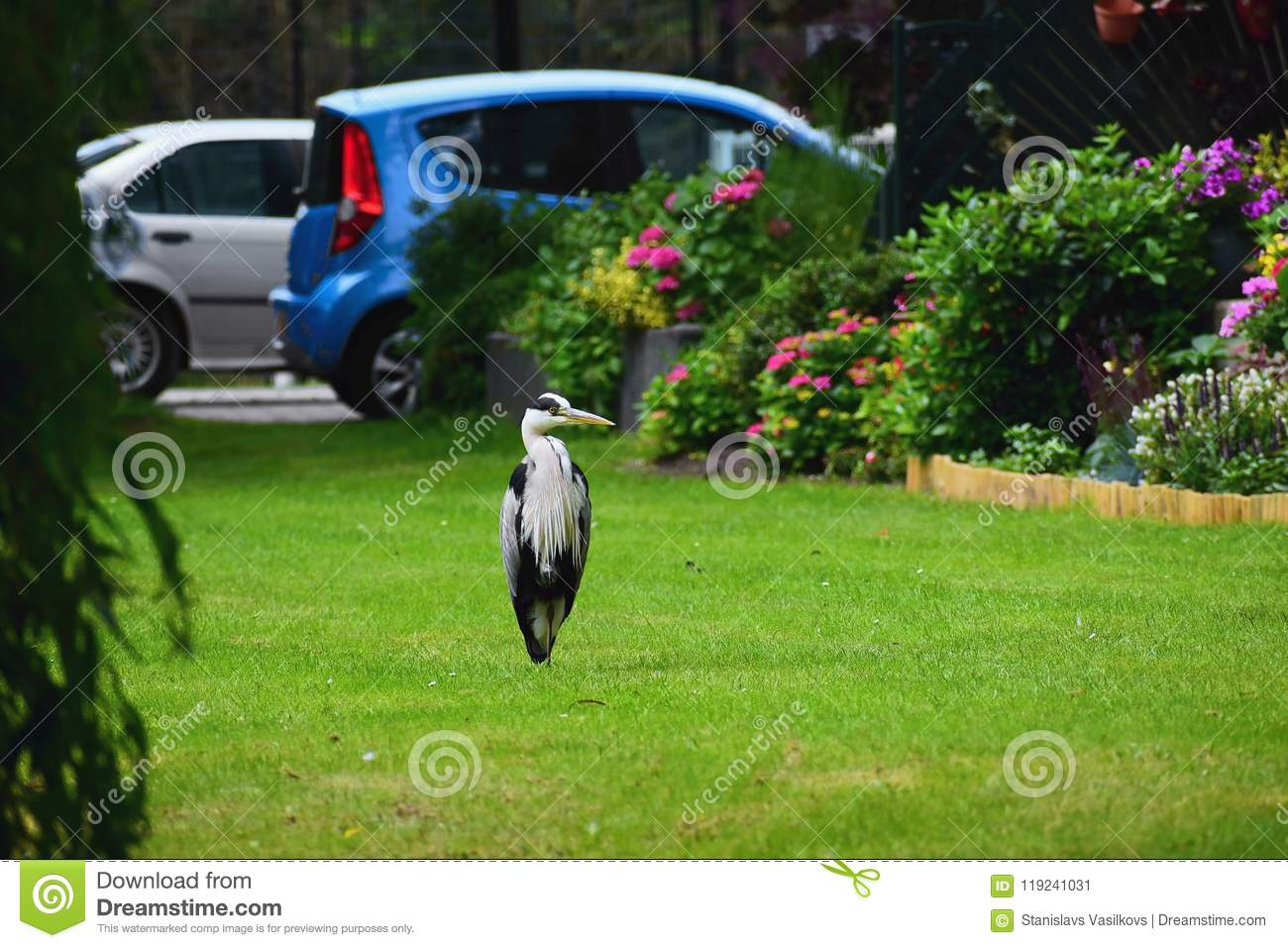 Gray heron on a clearing