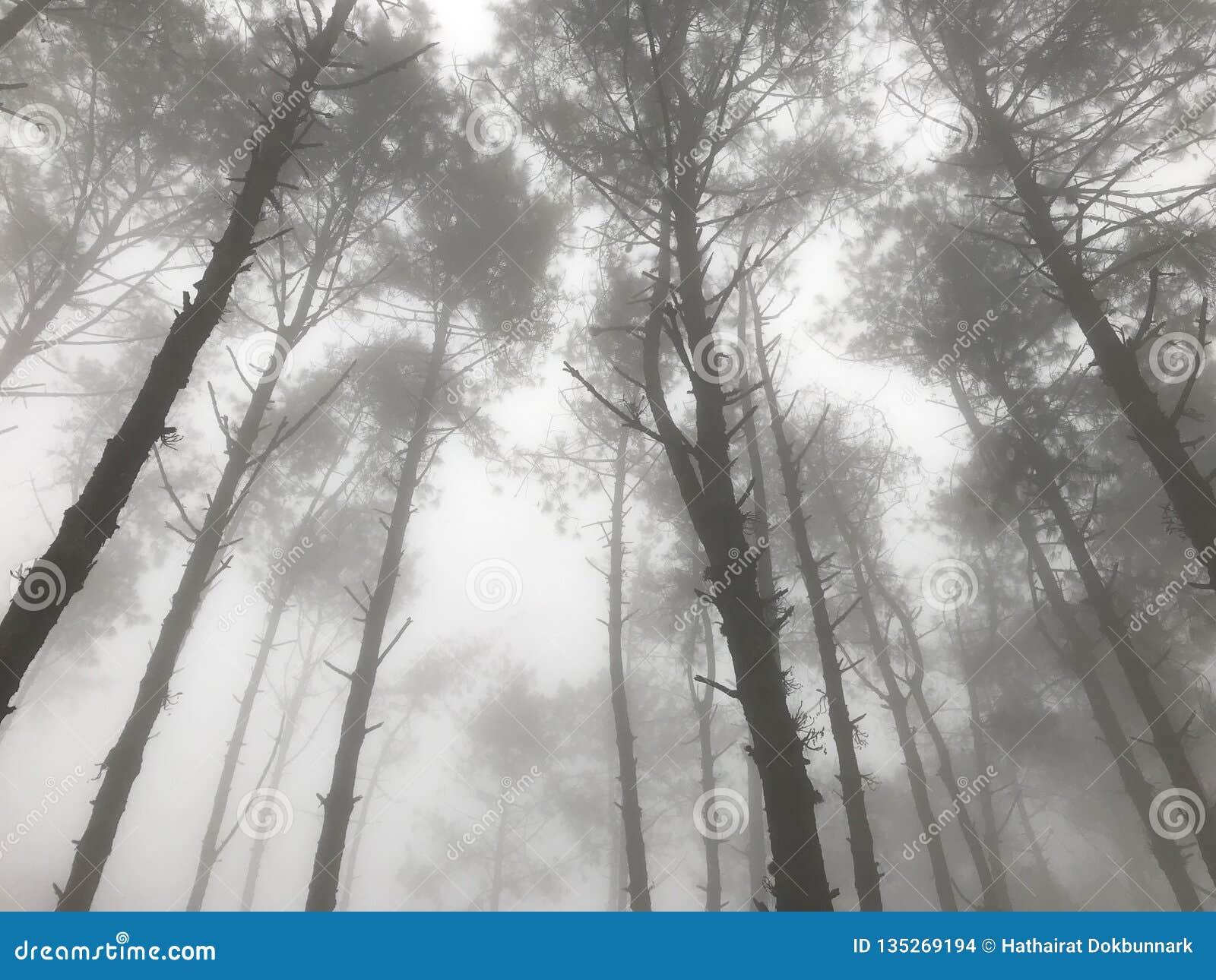 Nebeliger Kieferwald mit dem Strömen des Lichtes