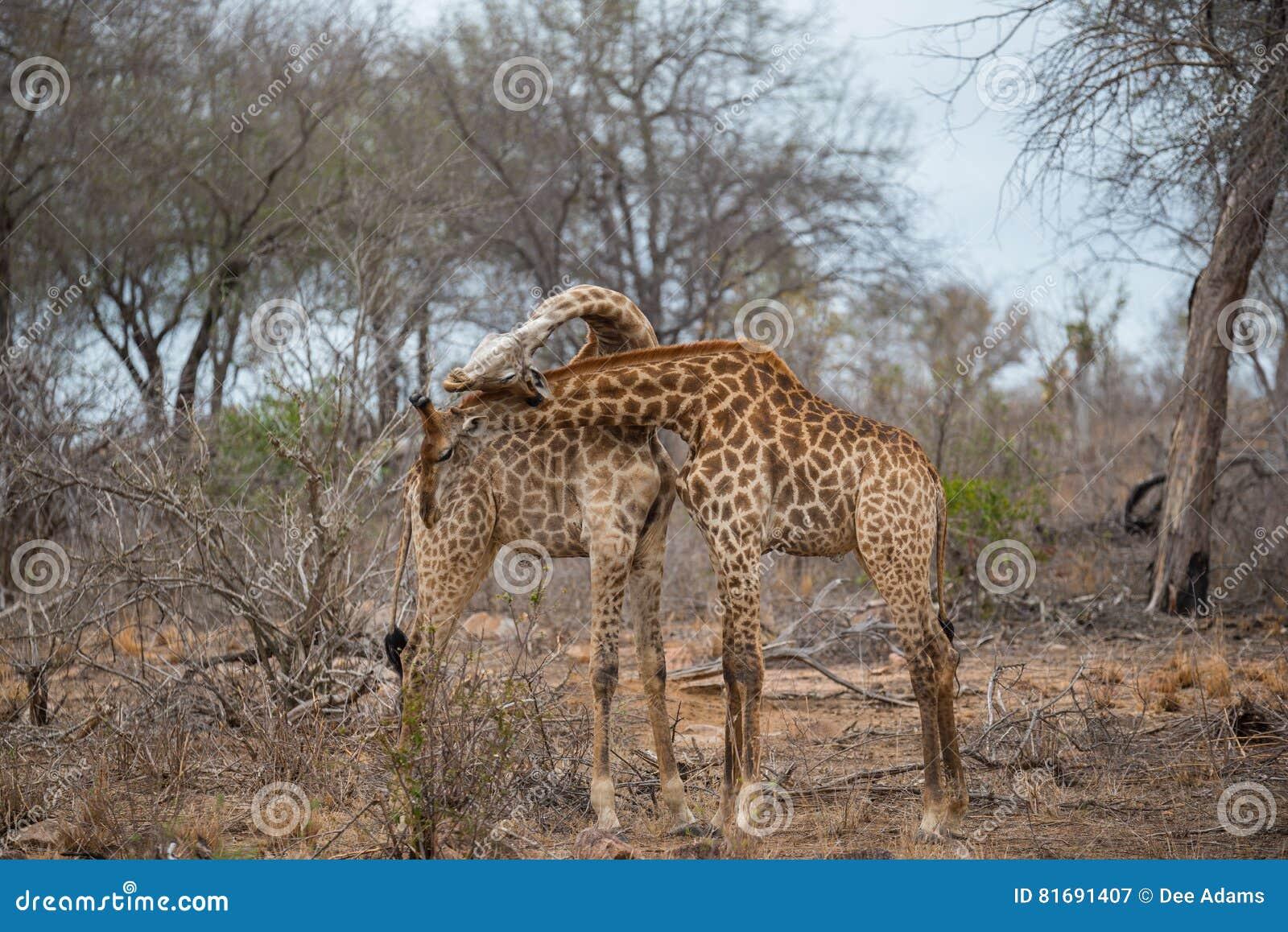 Necking 2 жирафов и бой в национальном парке Kruger