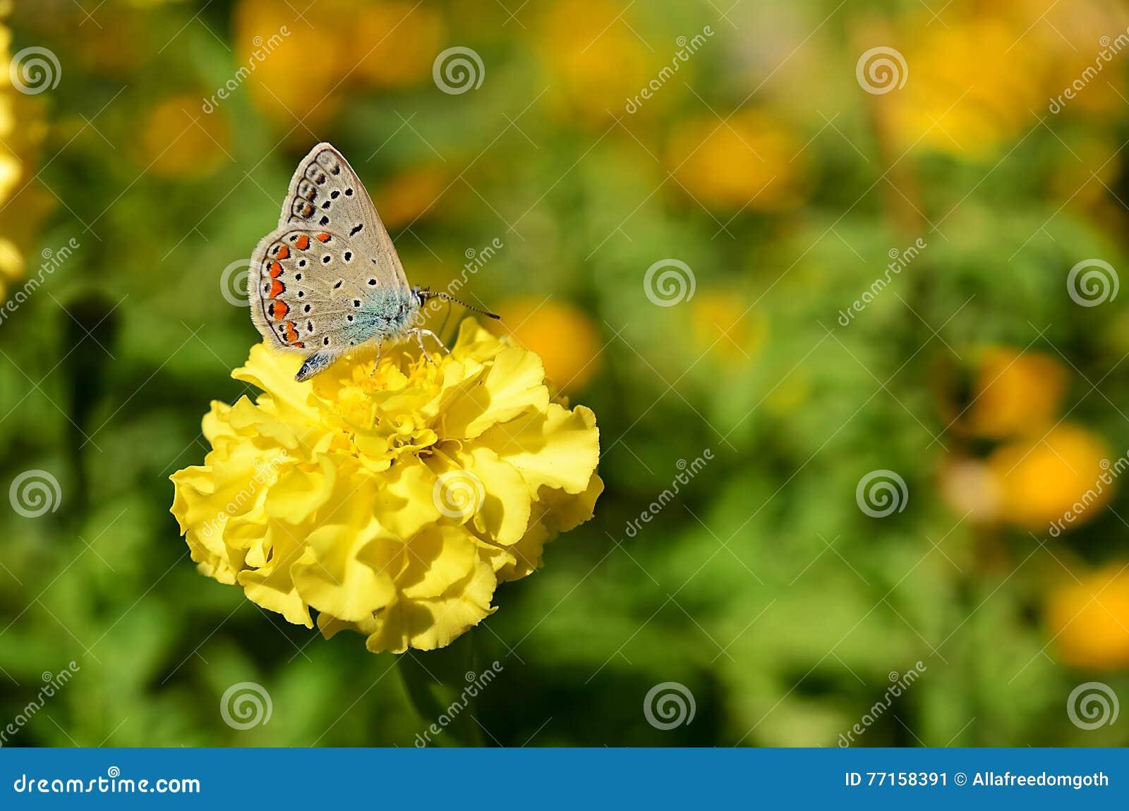 Nectar coloré de fleur de boissons de papillon Été, jour, papillon
