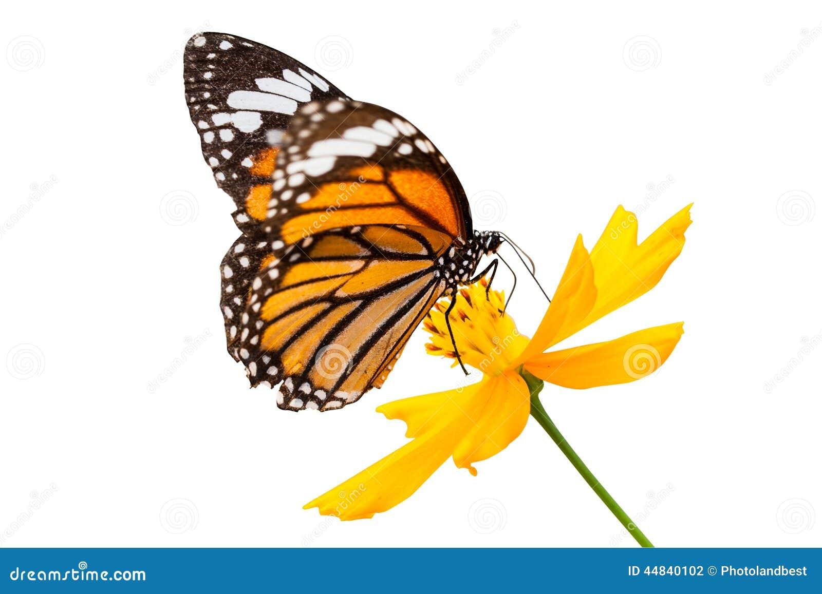 Nectar de recherche de papillon de monarque sur une fleur - Papillon fleur ...