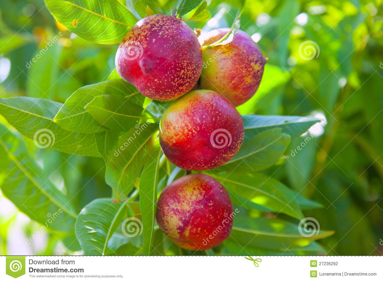 Nectarine Fruits On A Tree With Red Color Stock Photo ...