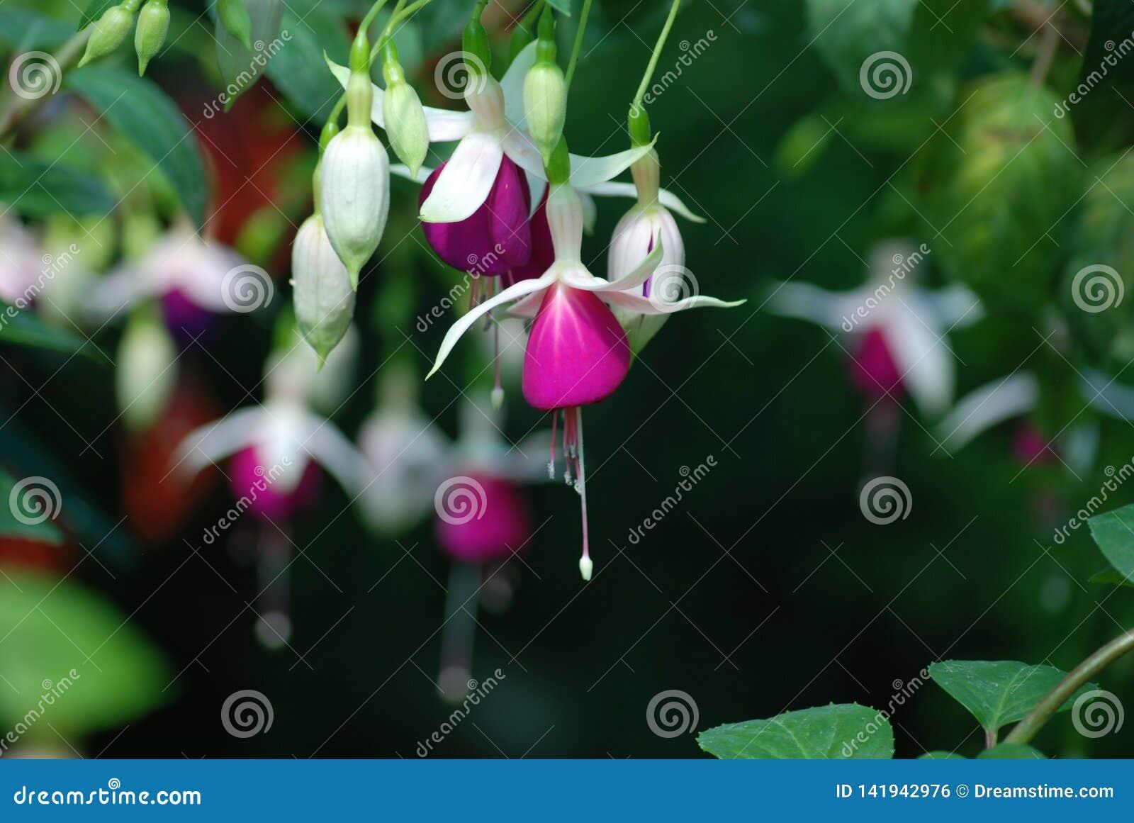 Nedåtriktade hängande vita purpurfärgade fuchsiablom