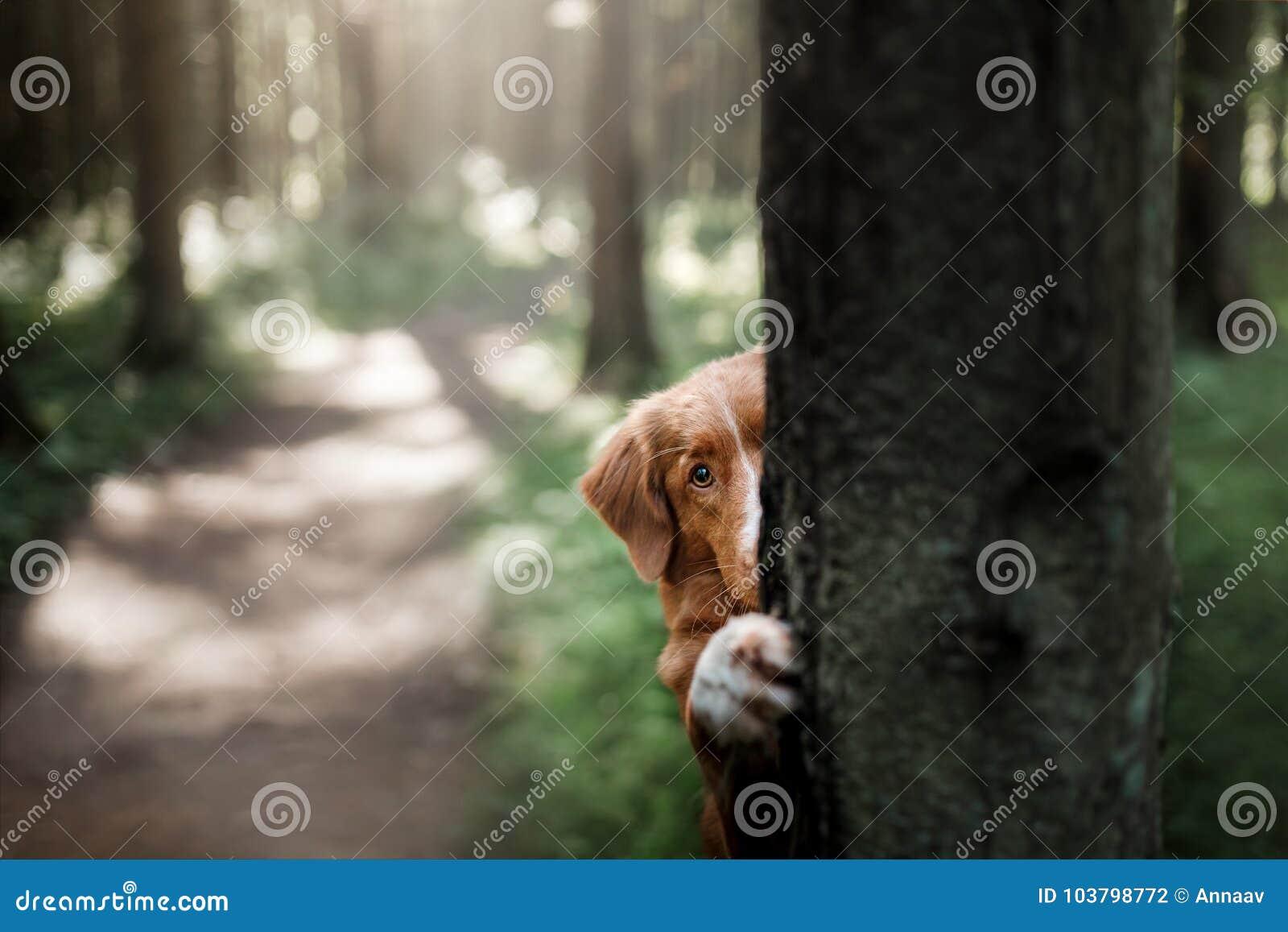 Nederlag för apportör för hundNova Scotia and tolling bak ett träd