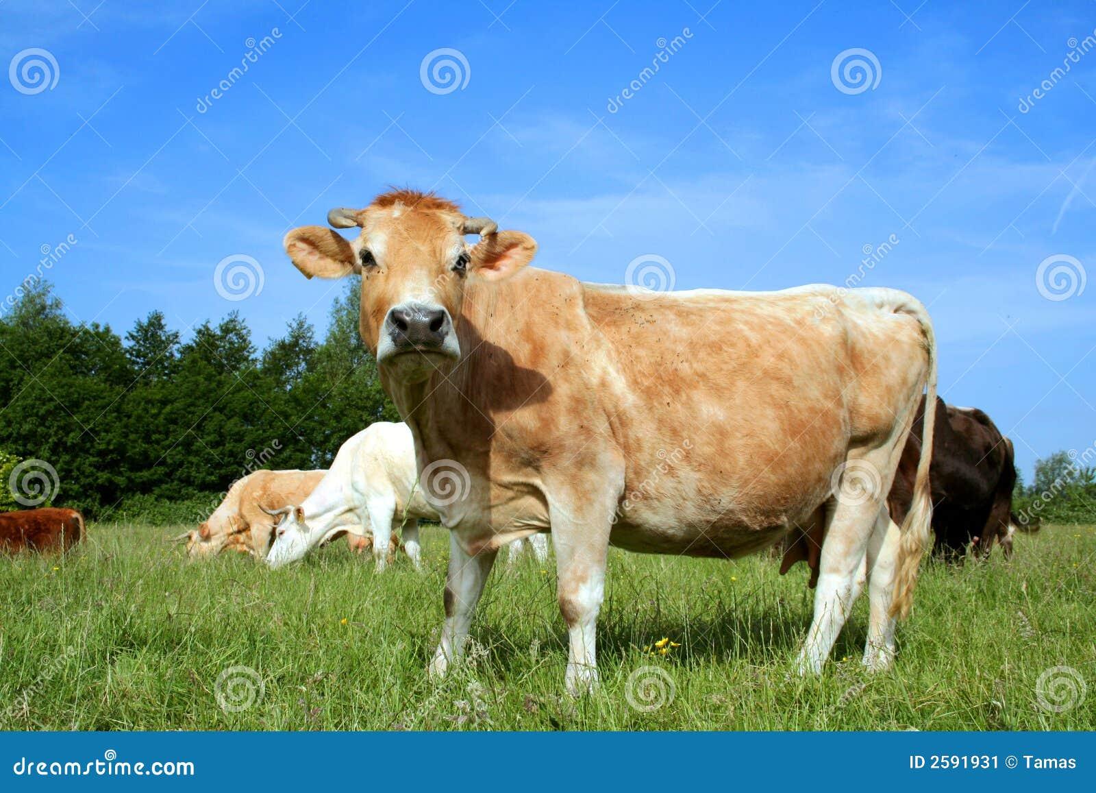 Nederlandse koe in Weiland 03