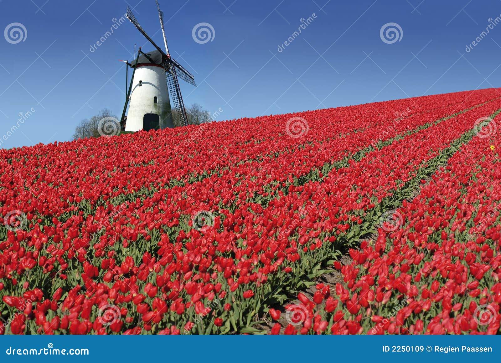 Nederlandse molen en rode tulpen