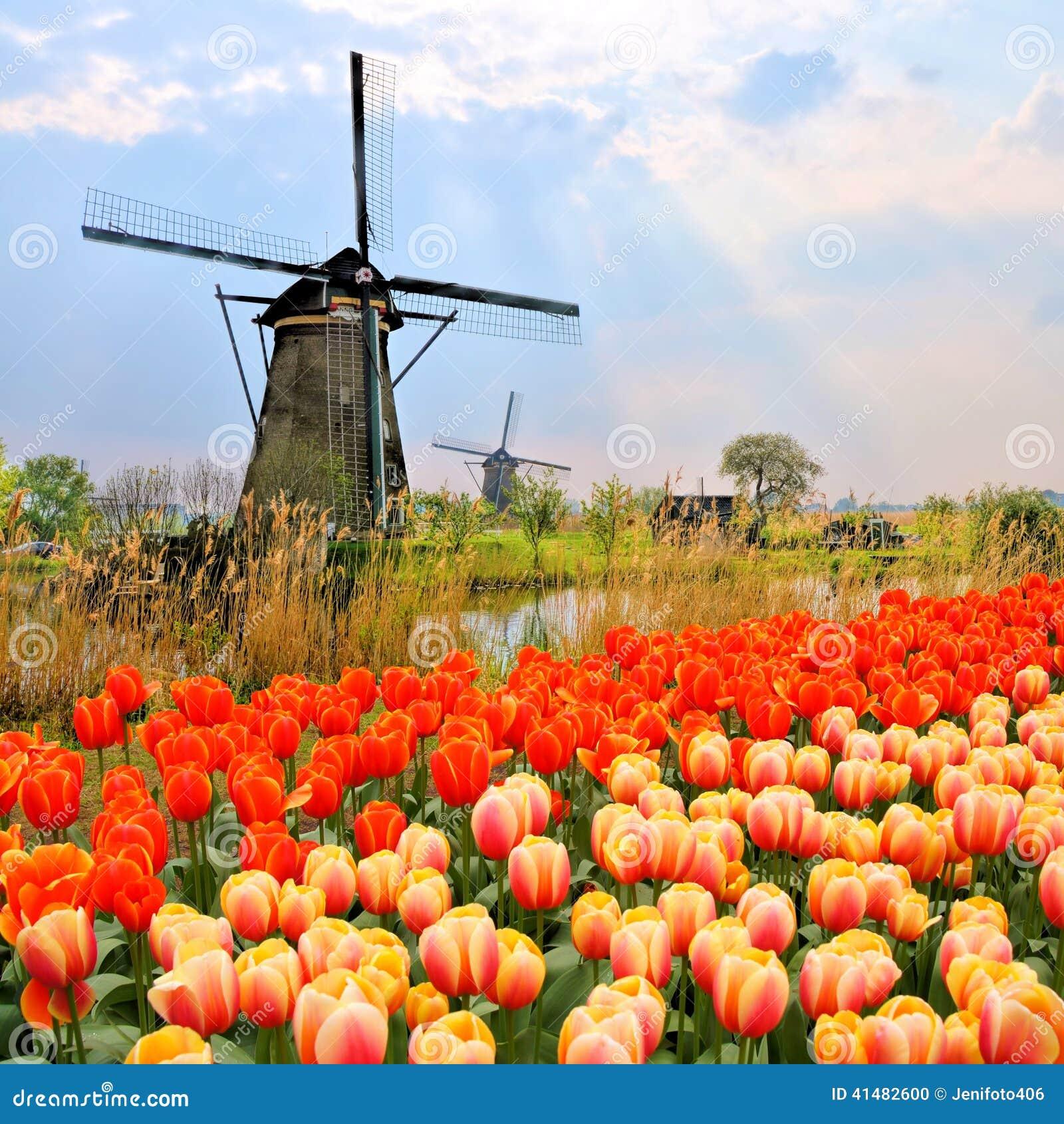 Nederlandse Windmolens En Tulpen Stock Foto   Afbeelding  41482600