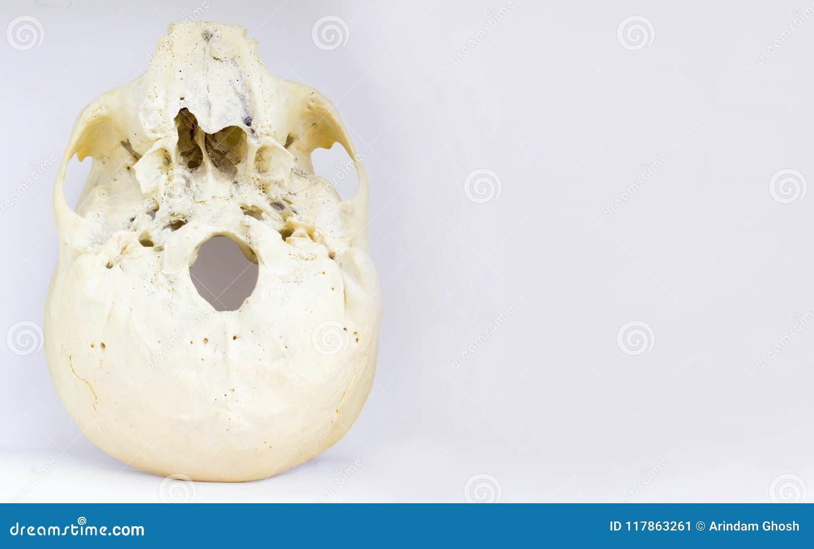 Nedersta sikt av grunden av den mänskliga skallevisningmaxillaen och foramenmagnumbuteljen för anatomi i isolerad vit bakgrund