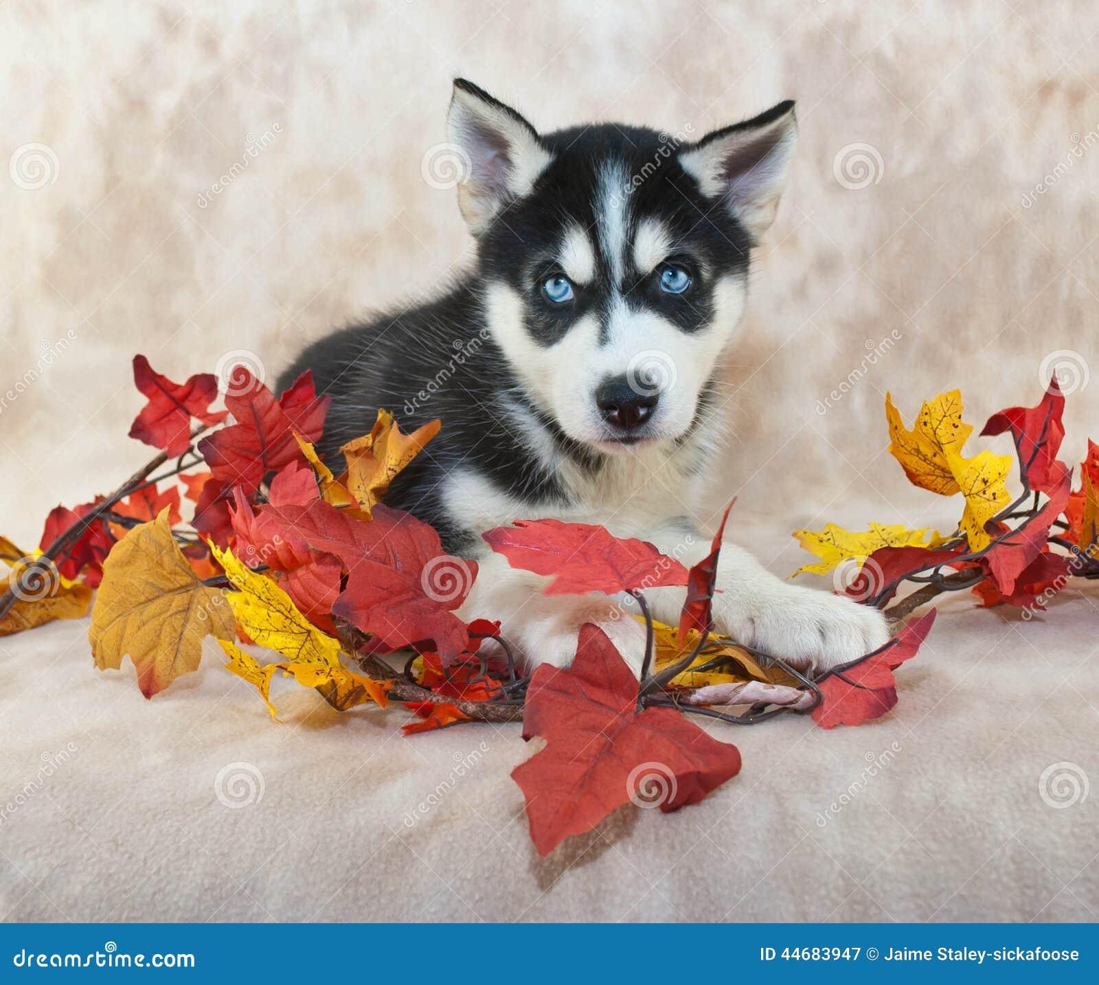 Nedgång Husky Puppy