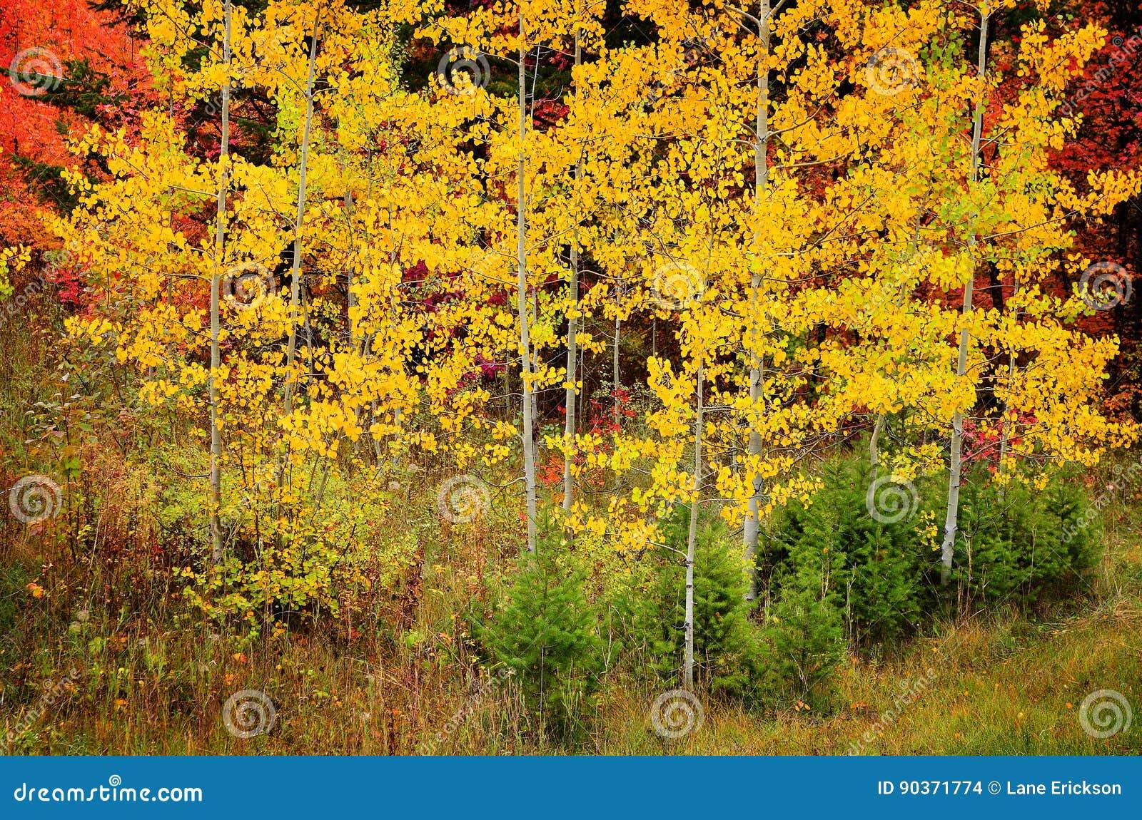 Nedgångbjörkträd med guld- sidor