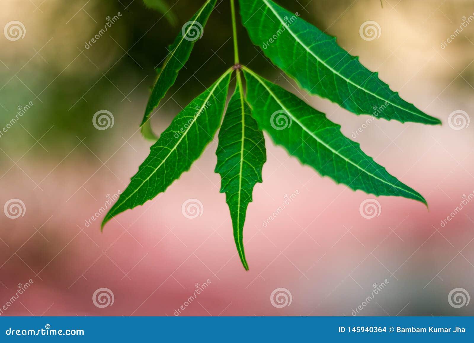 Neem drzewo lub Azadirachta indica liść z zamazanym tłem