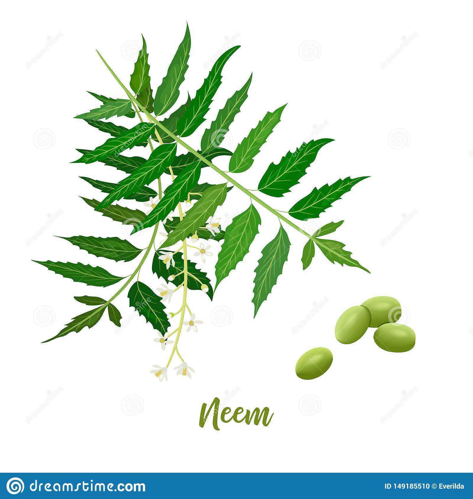Neem leaf branch, flowers and pods. for natural cosmetics, health care products, aromatherapy, oils