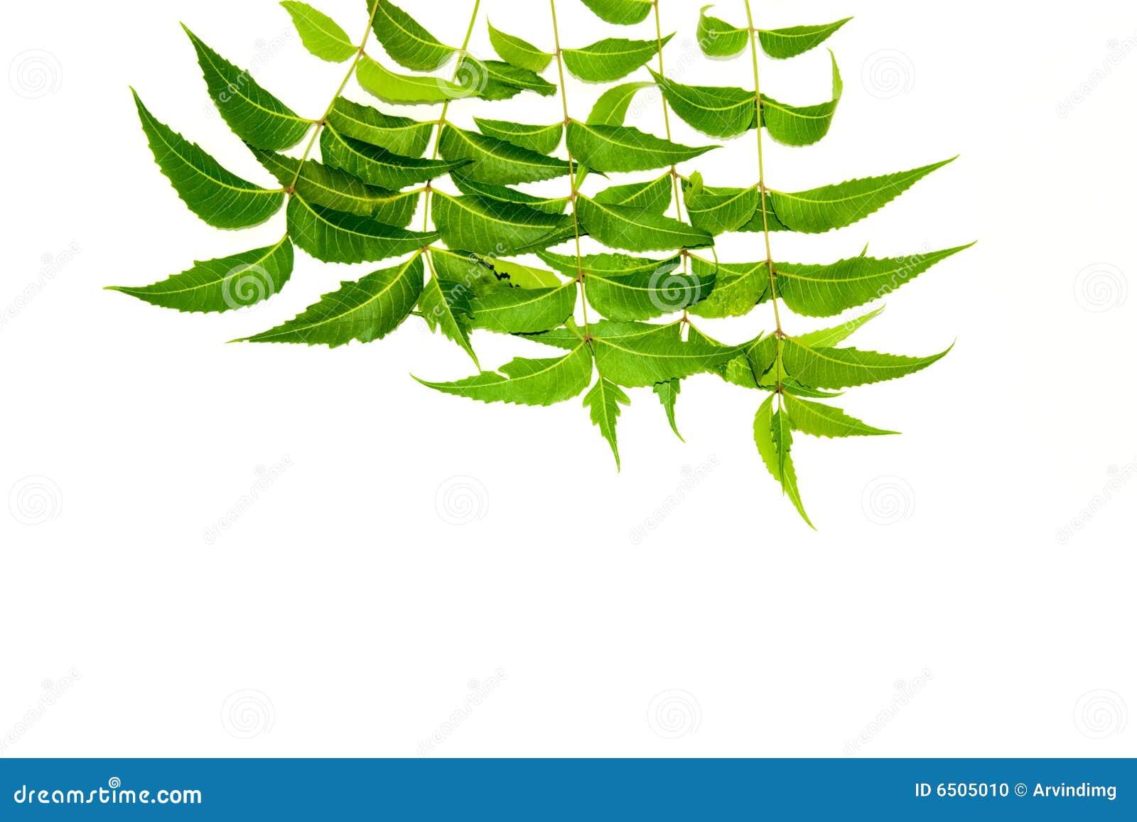 Neem Leaves Stock Photo Image Of Bark Cosmetics Midicine 6505010