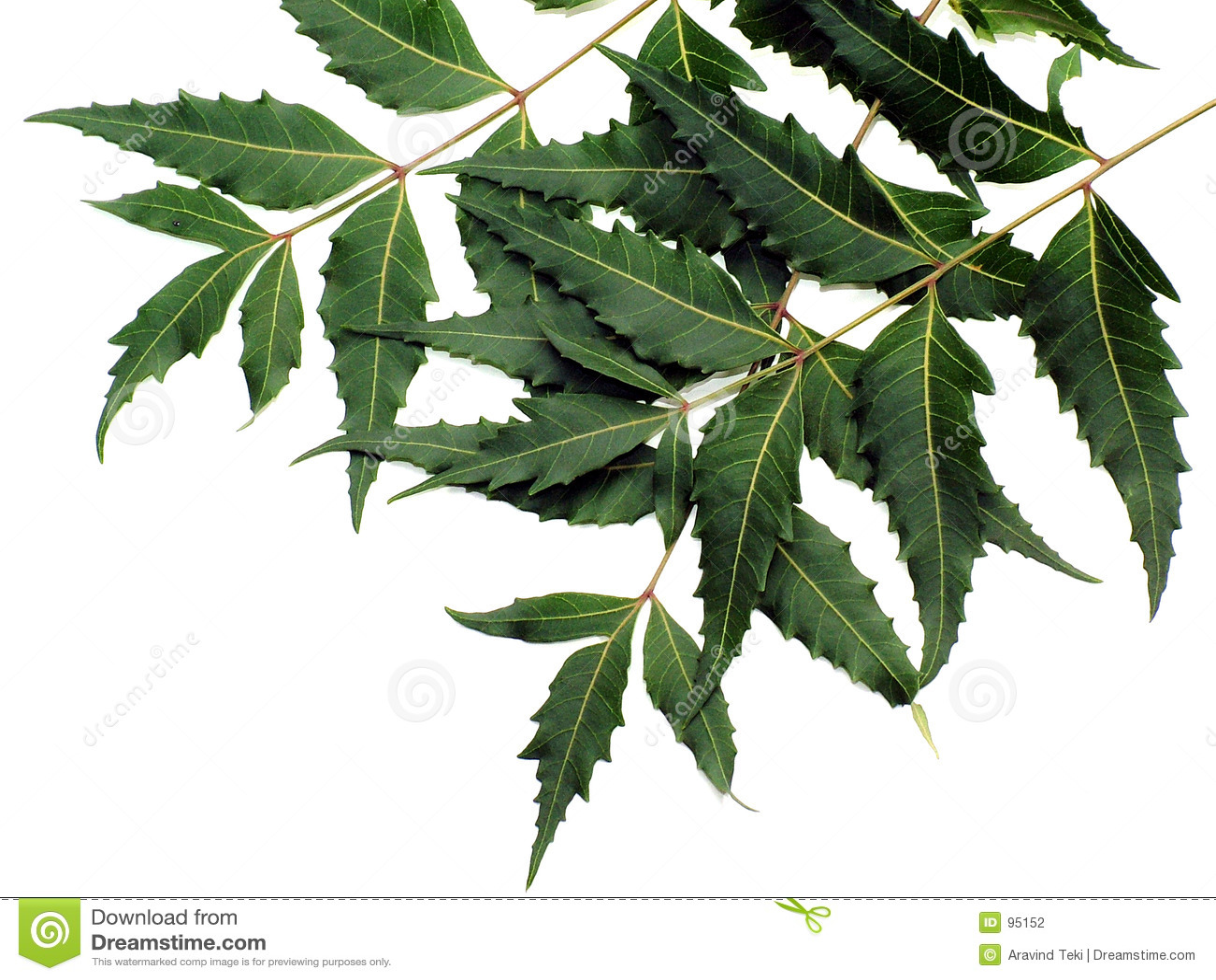 Neem Tree Clipart
