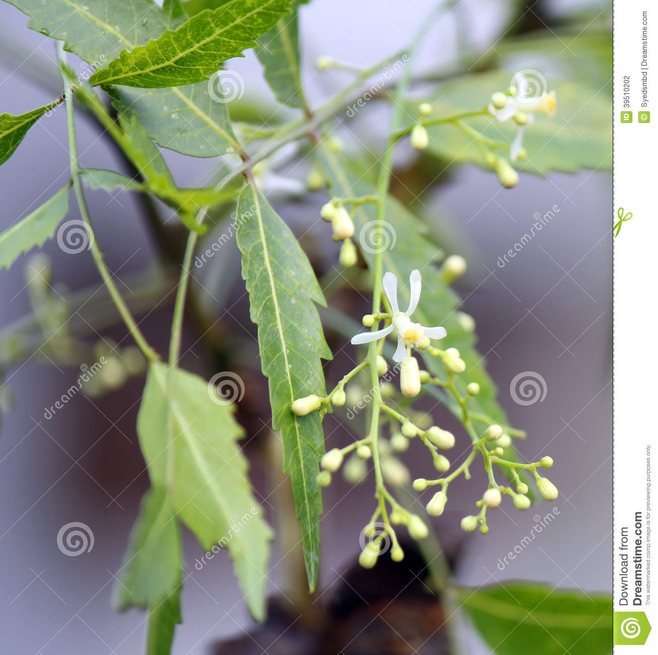 Neem leaves with flower
