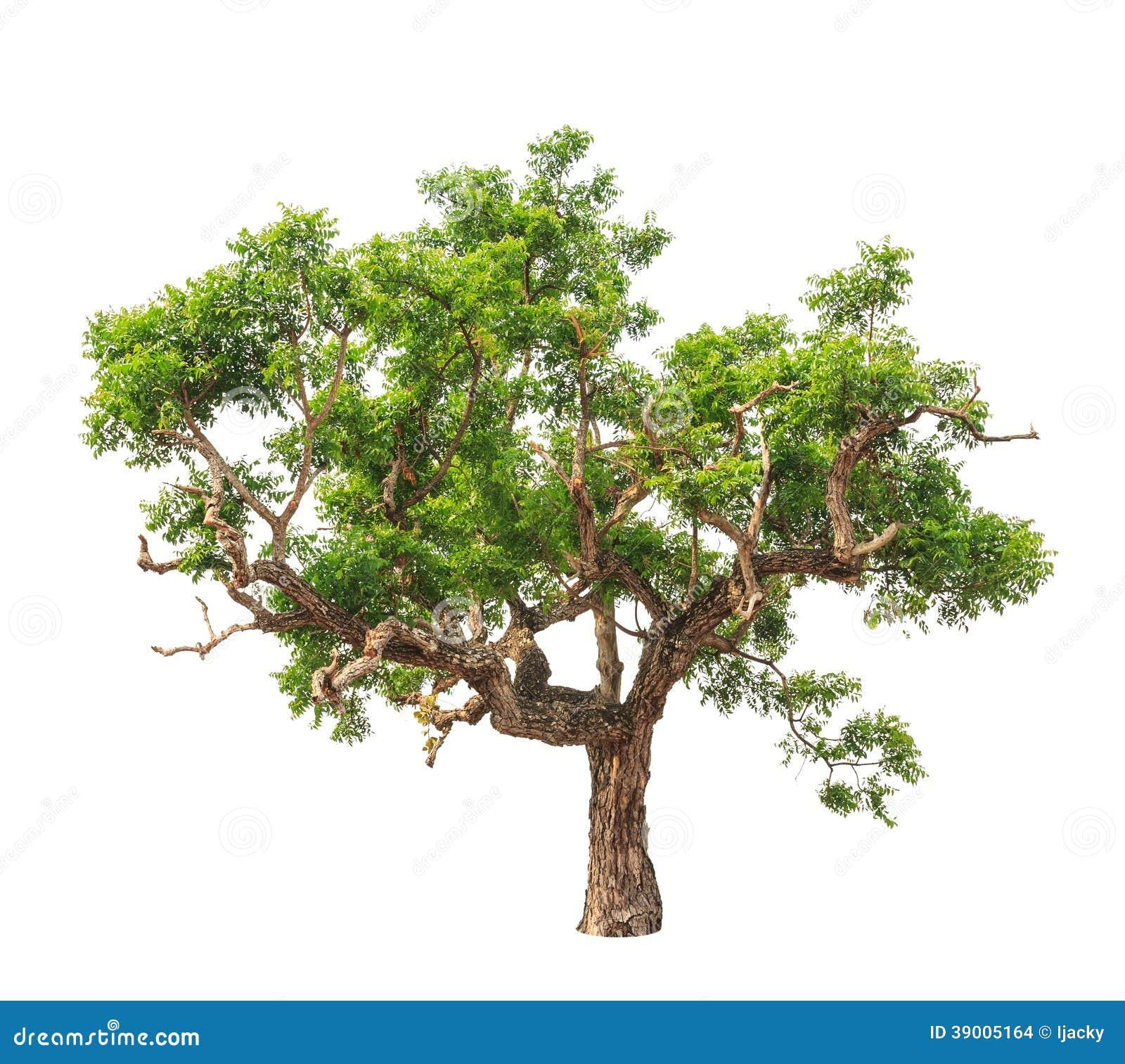 Neem Plant Tree Stock Photo Image Of Element Indica 31554938
