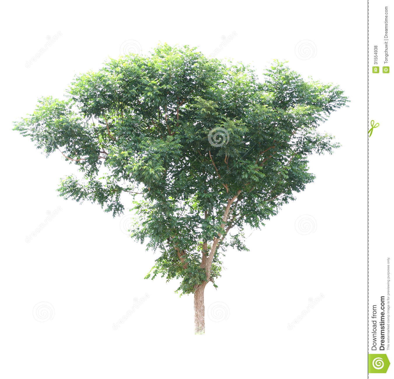neem tree stock photos images u0026 pictures 805 images