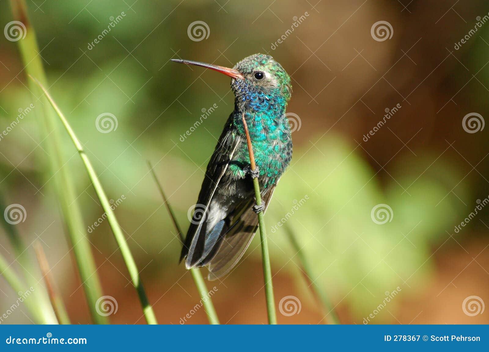 Neergestreken kolibrie
