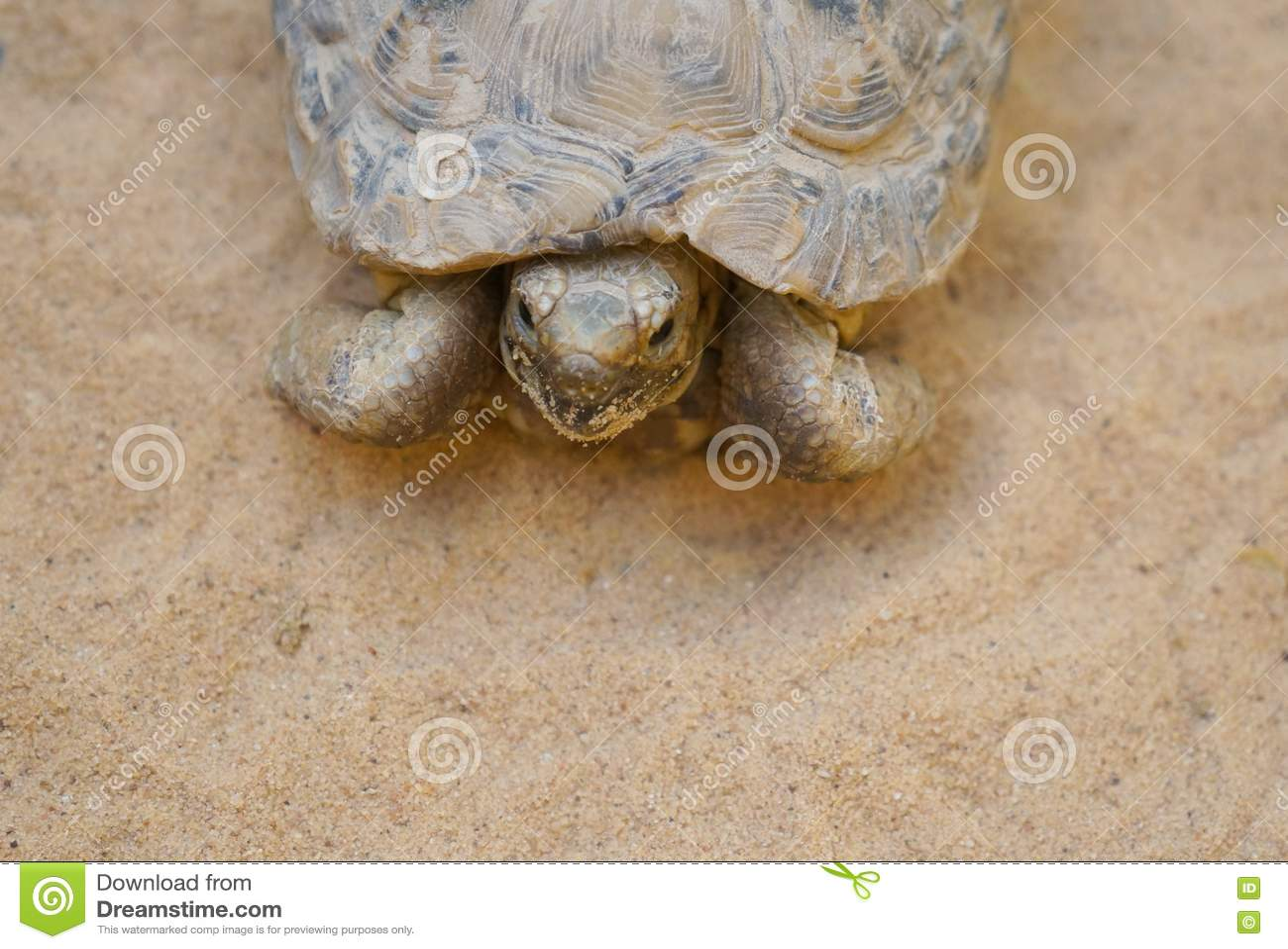 Negev desert tortoise