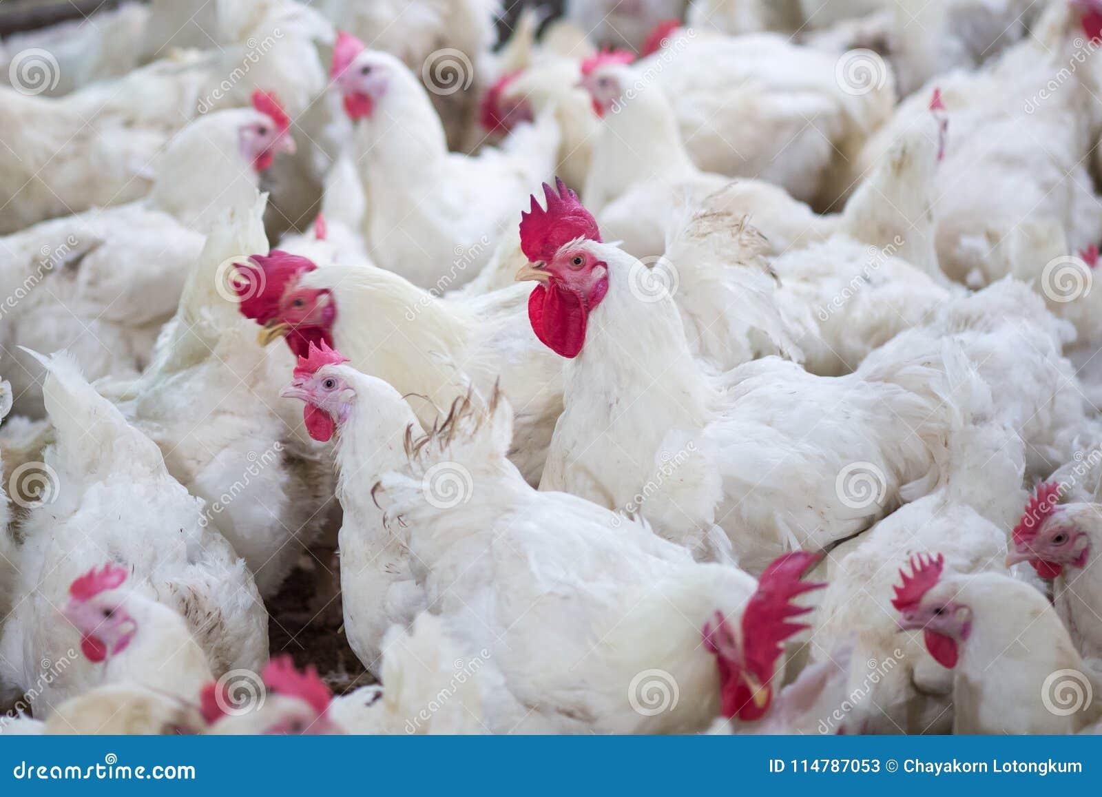 Negocio de la granja avícola con el fin de cultivar la carne