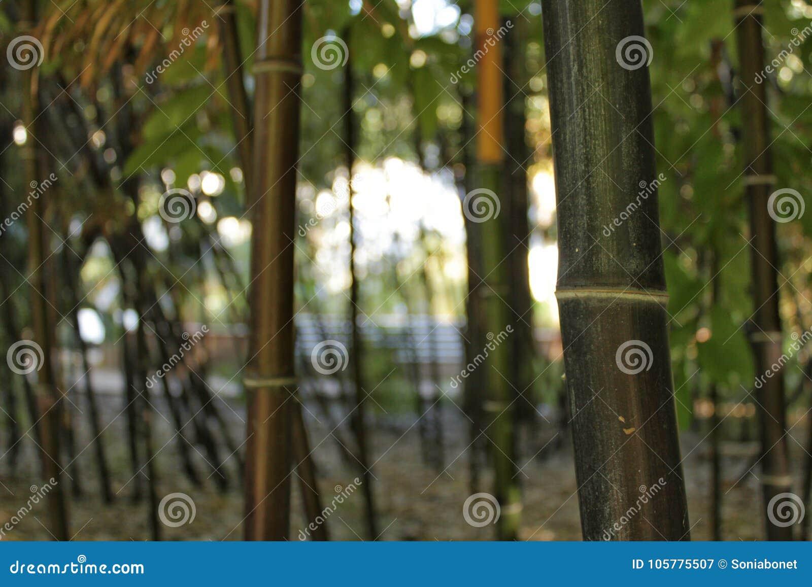 Negro do Phyllostachys, bambu preto no jardim, Valência