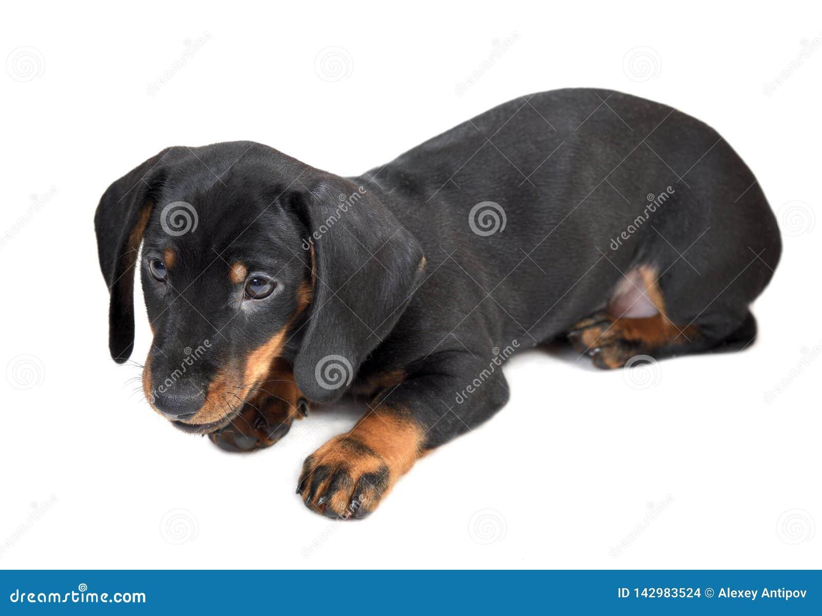 Negro liso de dos meses de mentira y broncear el perrito del perro basset