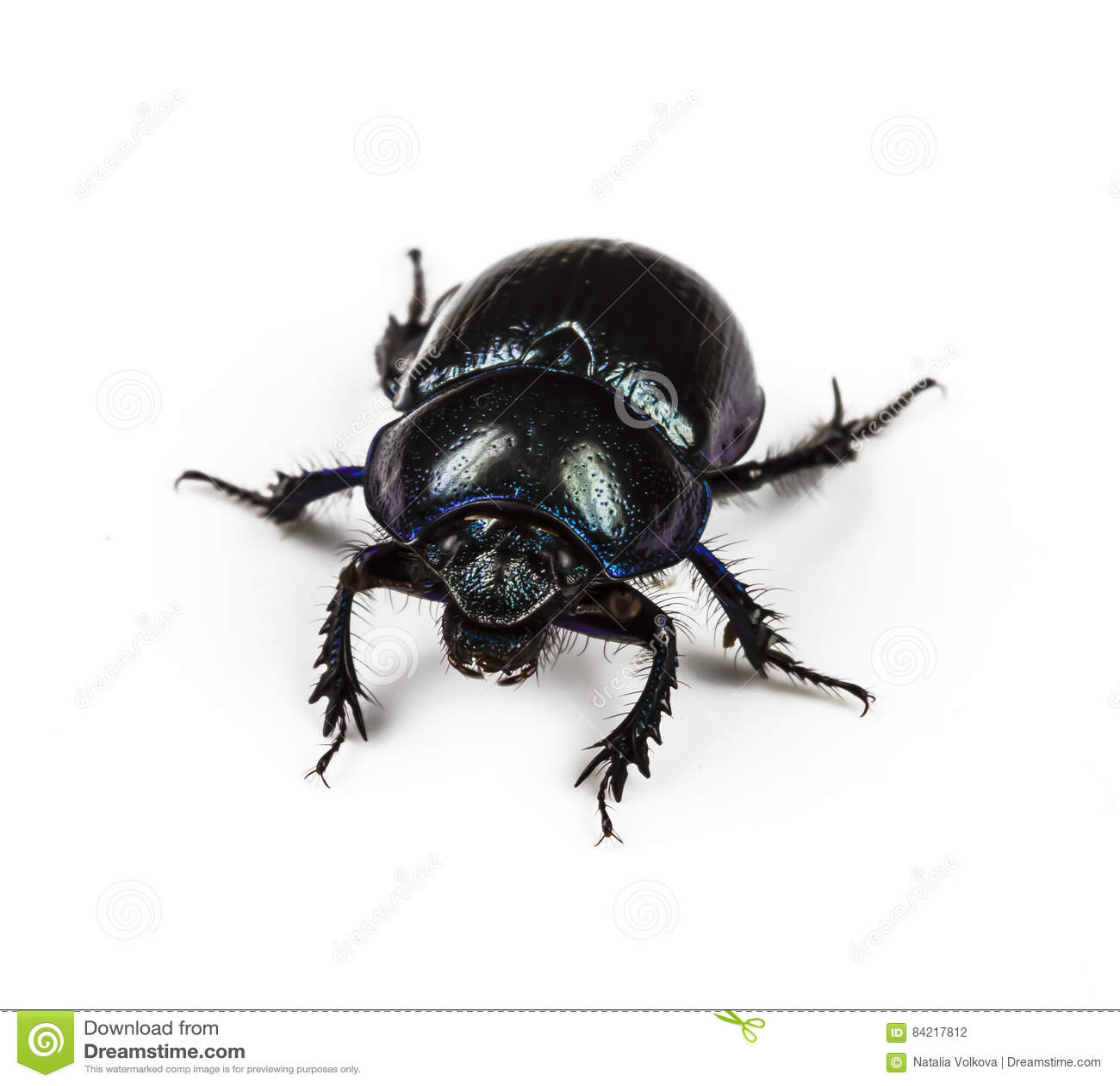 Negro violeta de Dung Beetle