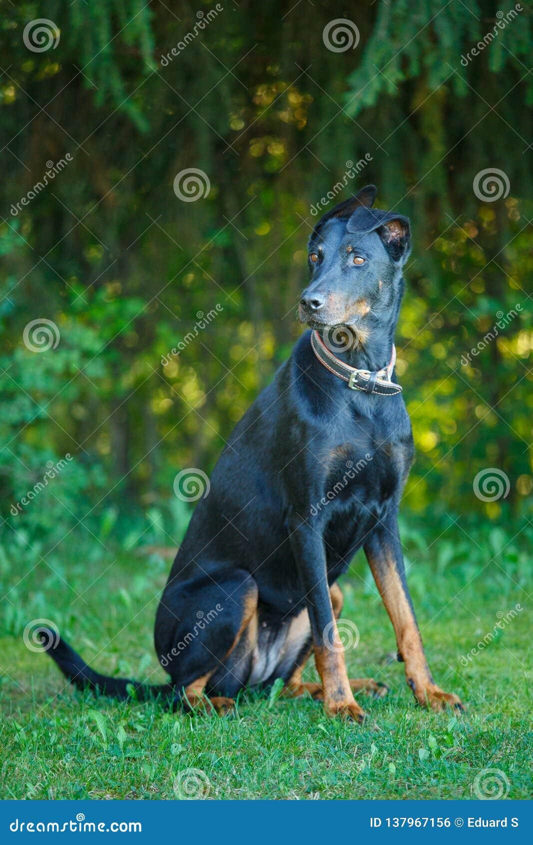 Negro y broncee el exterior que se sienta del pintcher del Doberman