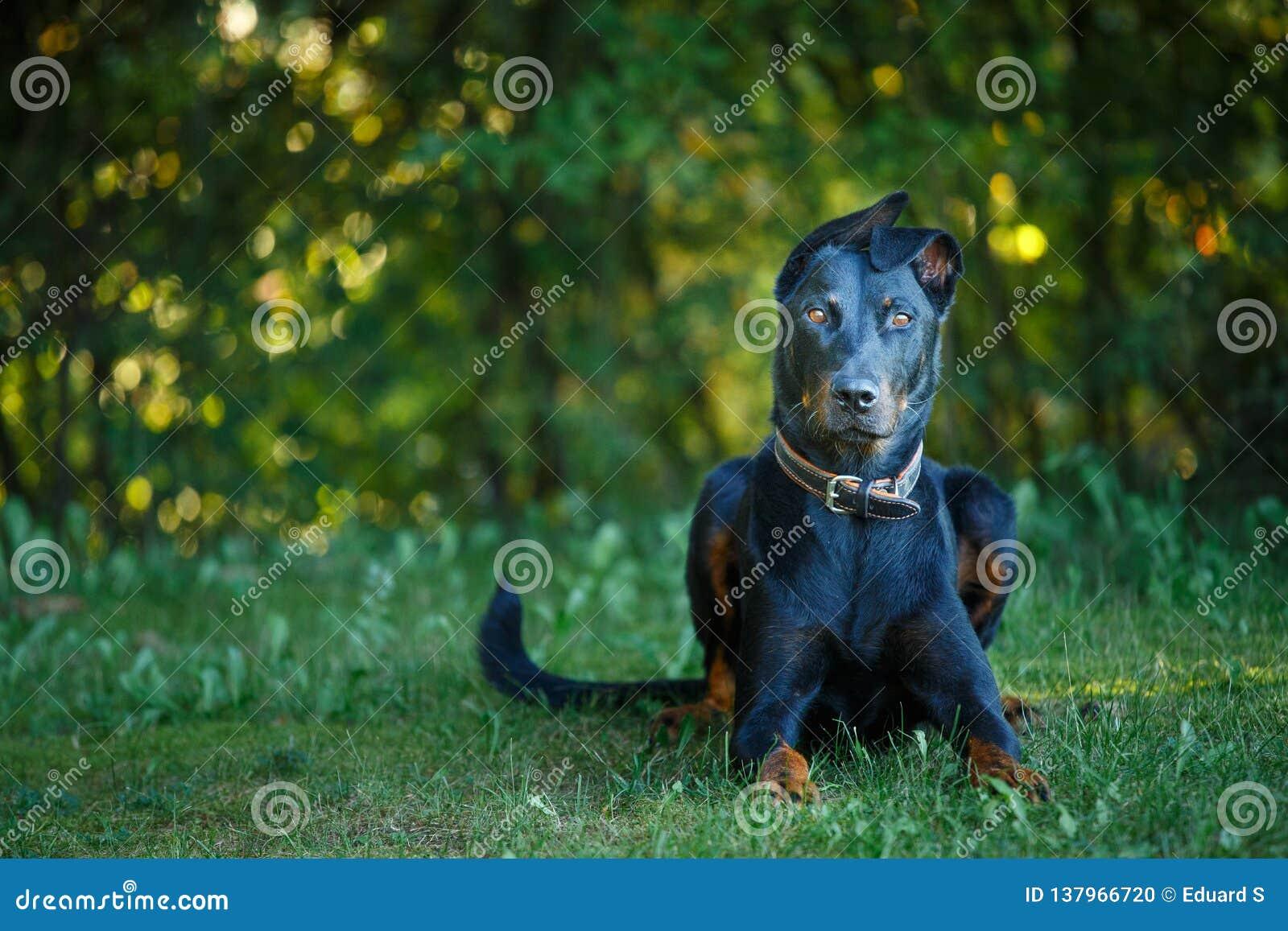 Negro y broncee el pintcher del Doberman que pone el exterior