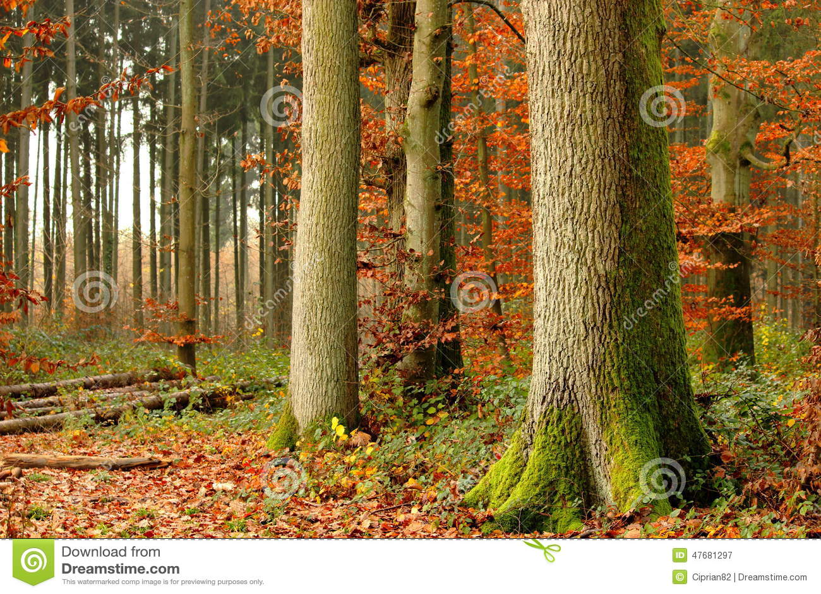 Nella foresta nel primo piano di caduta di grande albero
