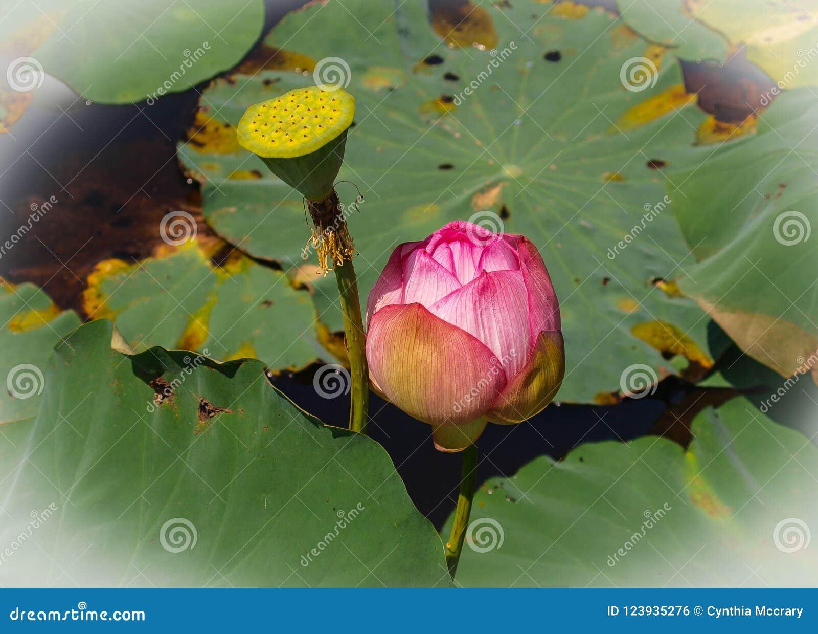 Pink Sacred Lotus Flower Stock Photo Image Of Plant 123935276