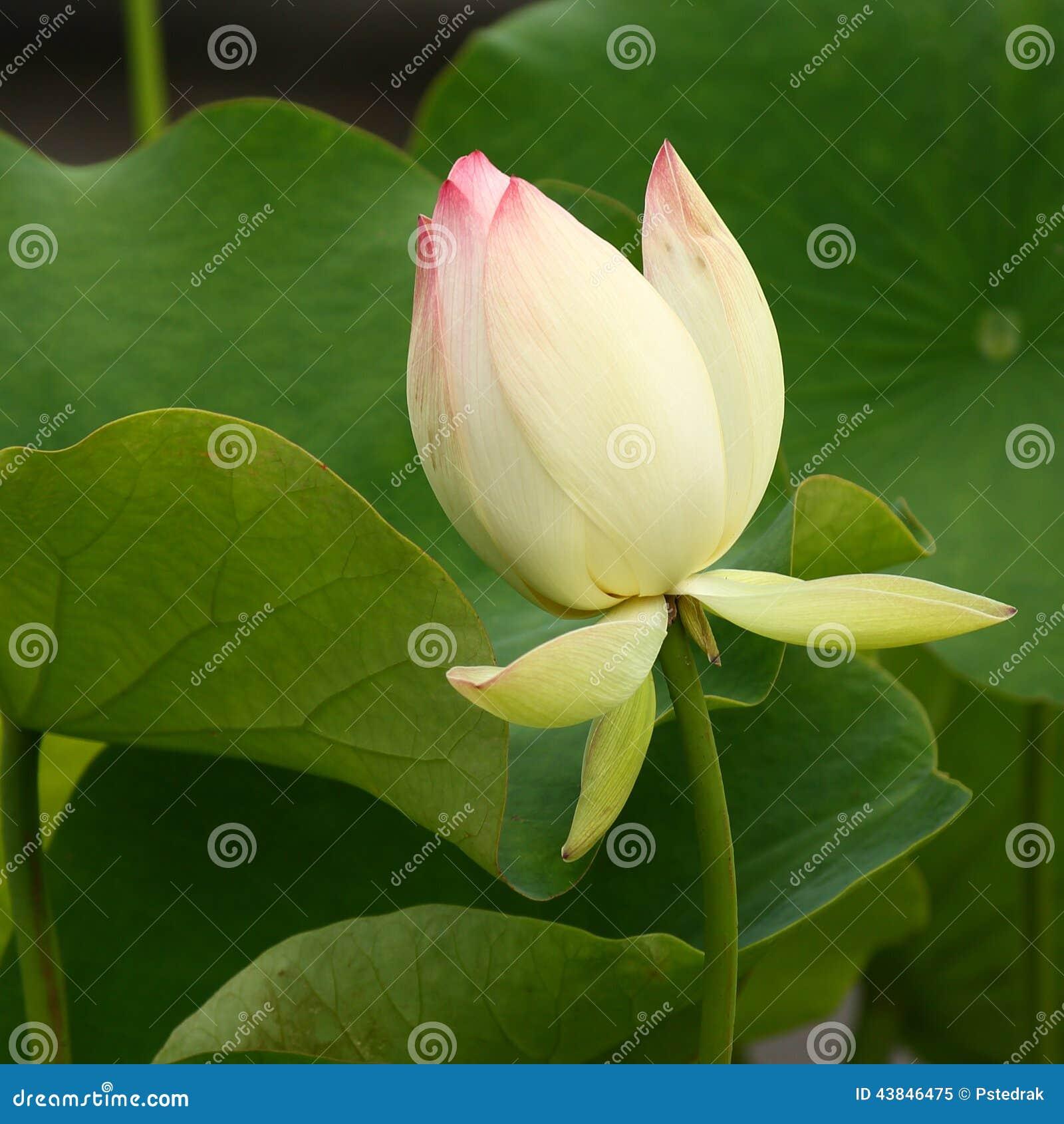 Цветок лотоса неизвестный фото