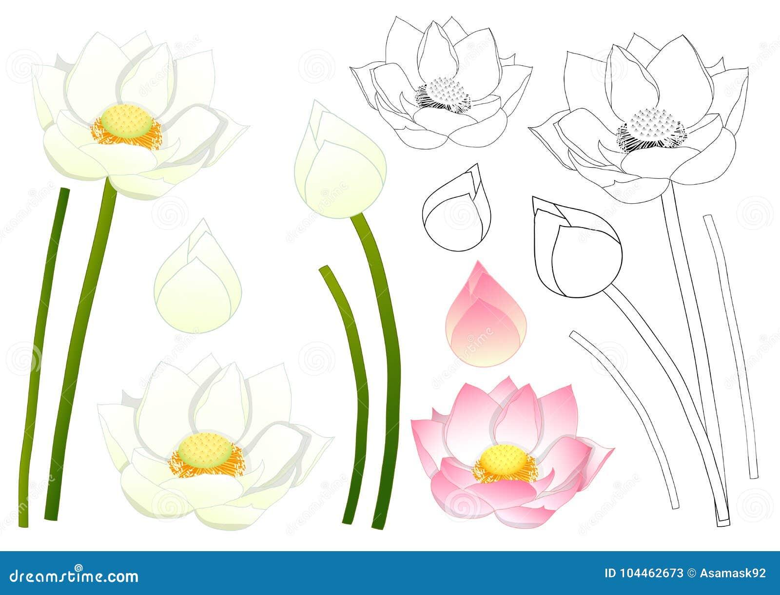 Nelumbo Nucifera Indian Lotus Sacred Lotus Bean Of India