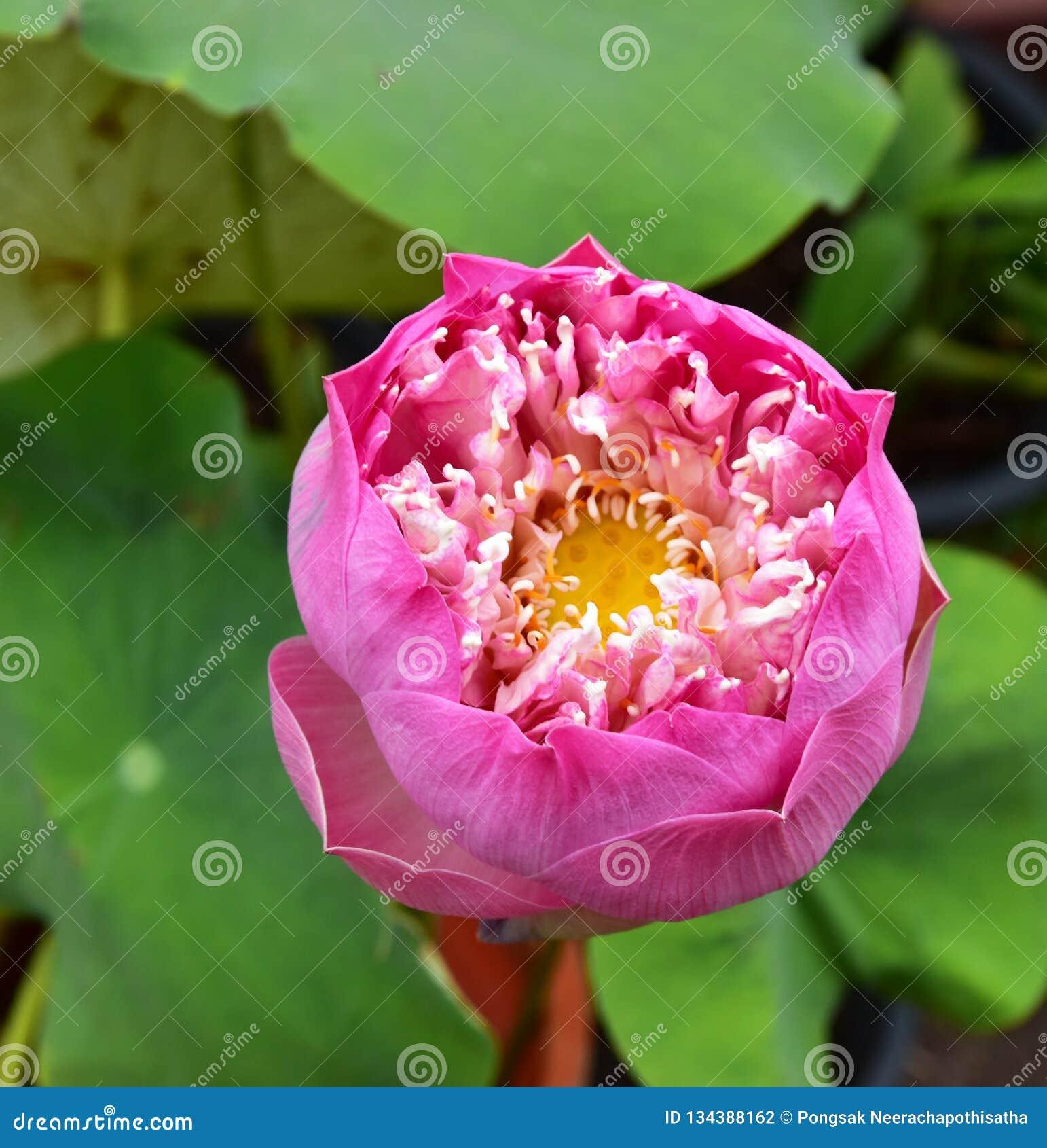 Nelumbo rosado Lotus Flower en la piscina