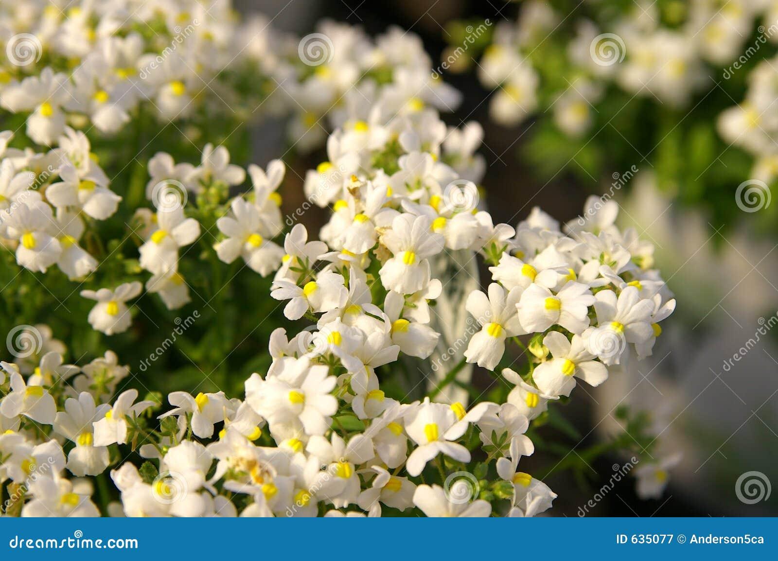 Download Nemesia стоковое изображение. изображение насчитывающей садовническо - 635077