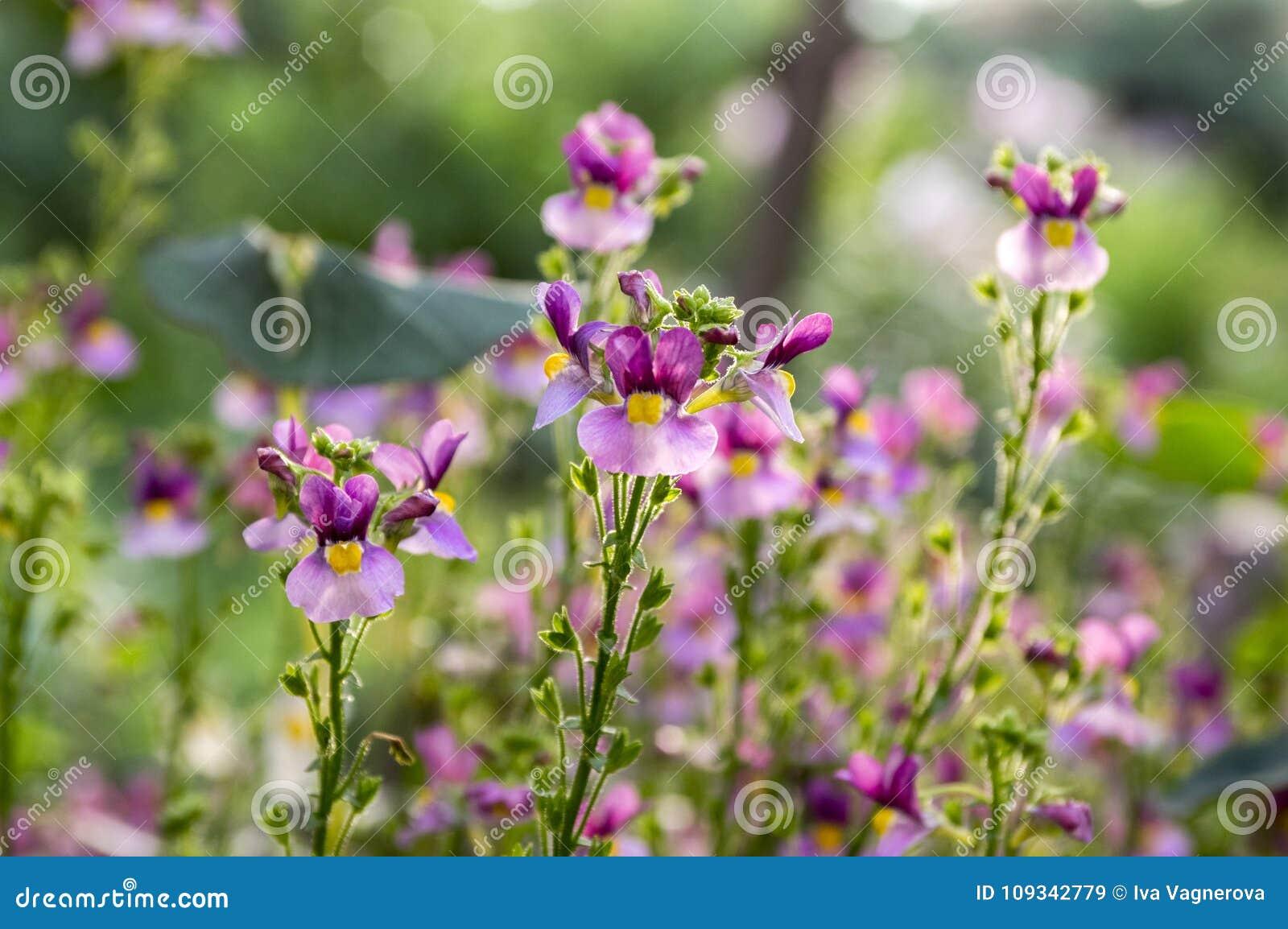 Nemesia Strumosa Ornamental Flowers In Bloom Purple Violet With