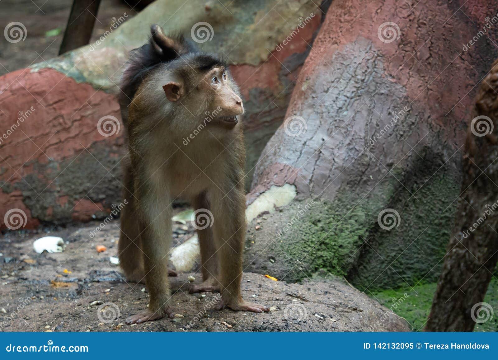 Nemestrina Macaca Макака Свинь-замкнутая обезьяной Сцена животных