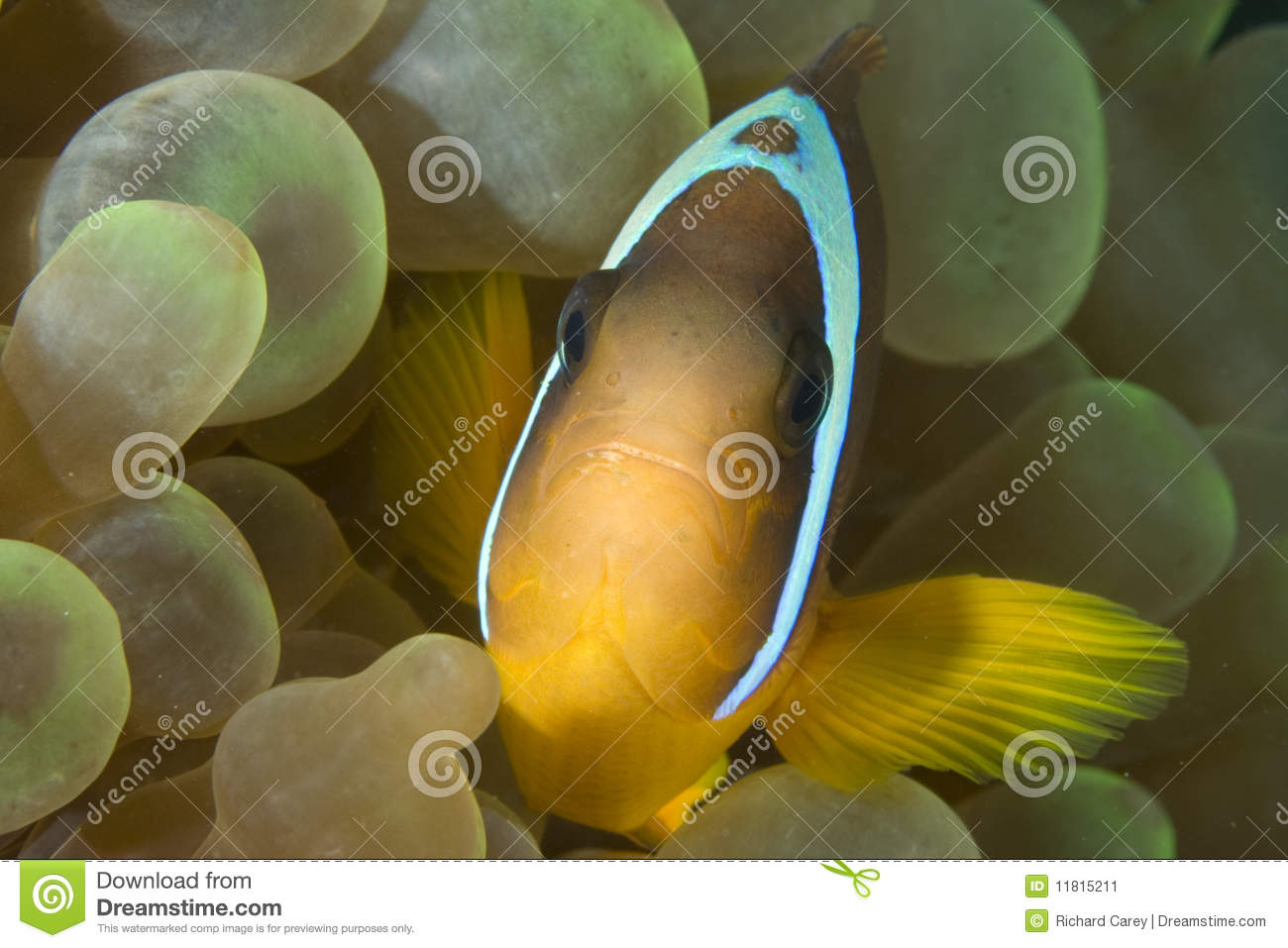 Nemo stock image image 11815211 for Bubbles fish finding nemo