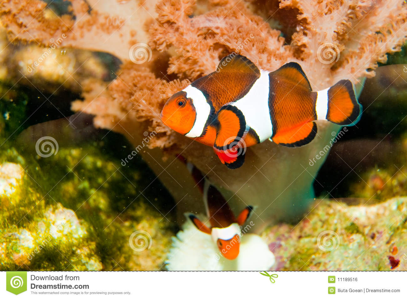 Nemo clown fish royalty free stock image image 11189516 for Clown fish nemo