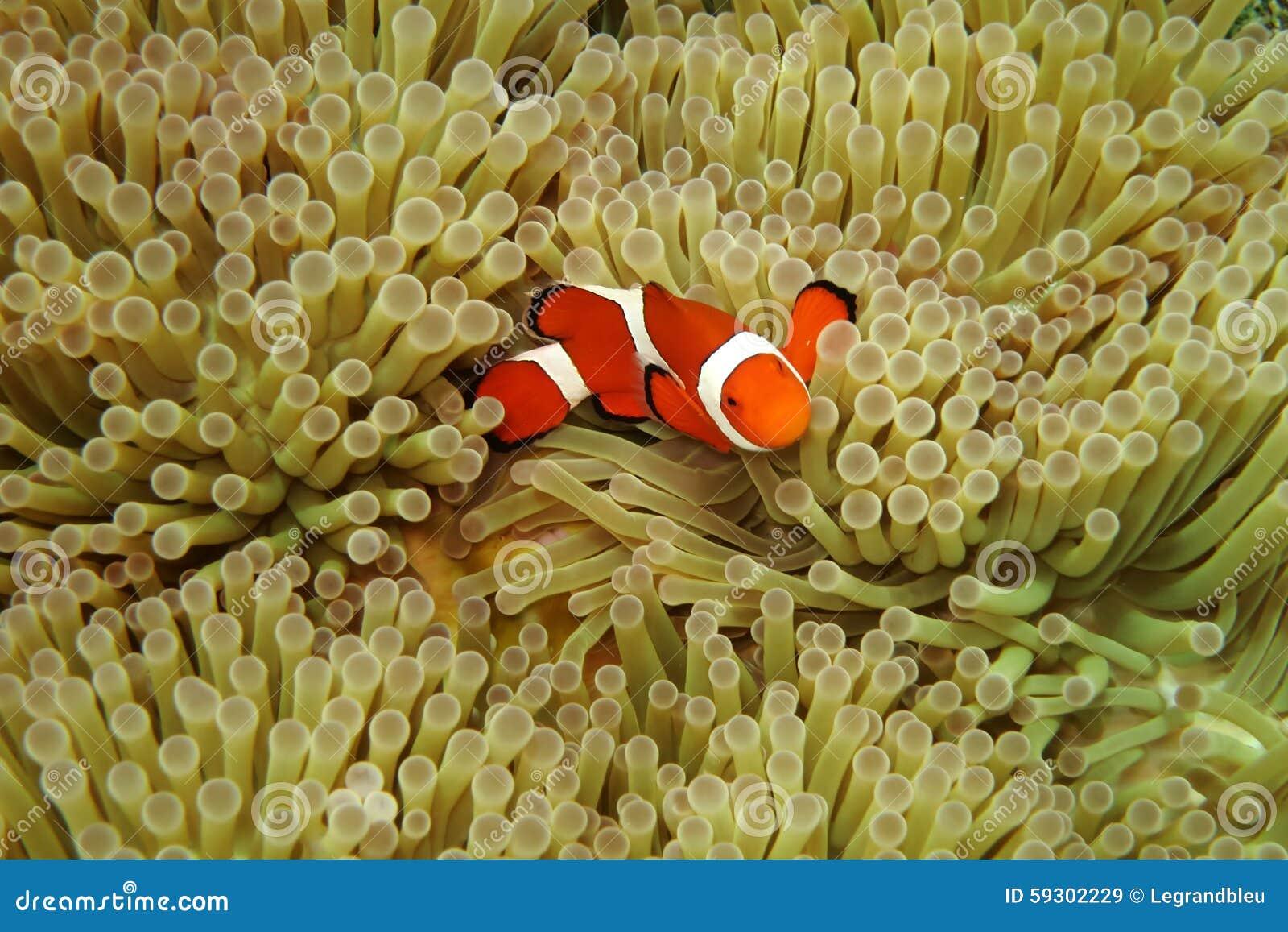 Nemo dans des actinies