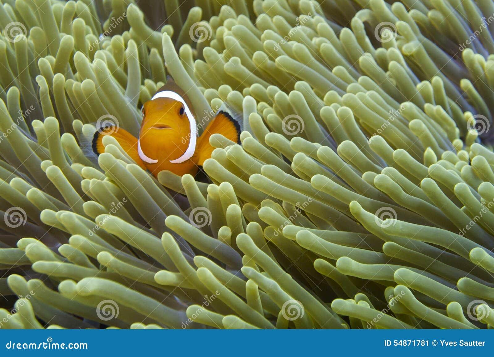 Nemo den vänliga clownfisken av fältprästen Burgos, Leyte, Filippinerna