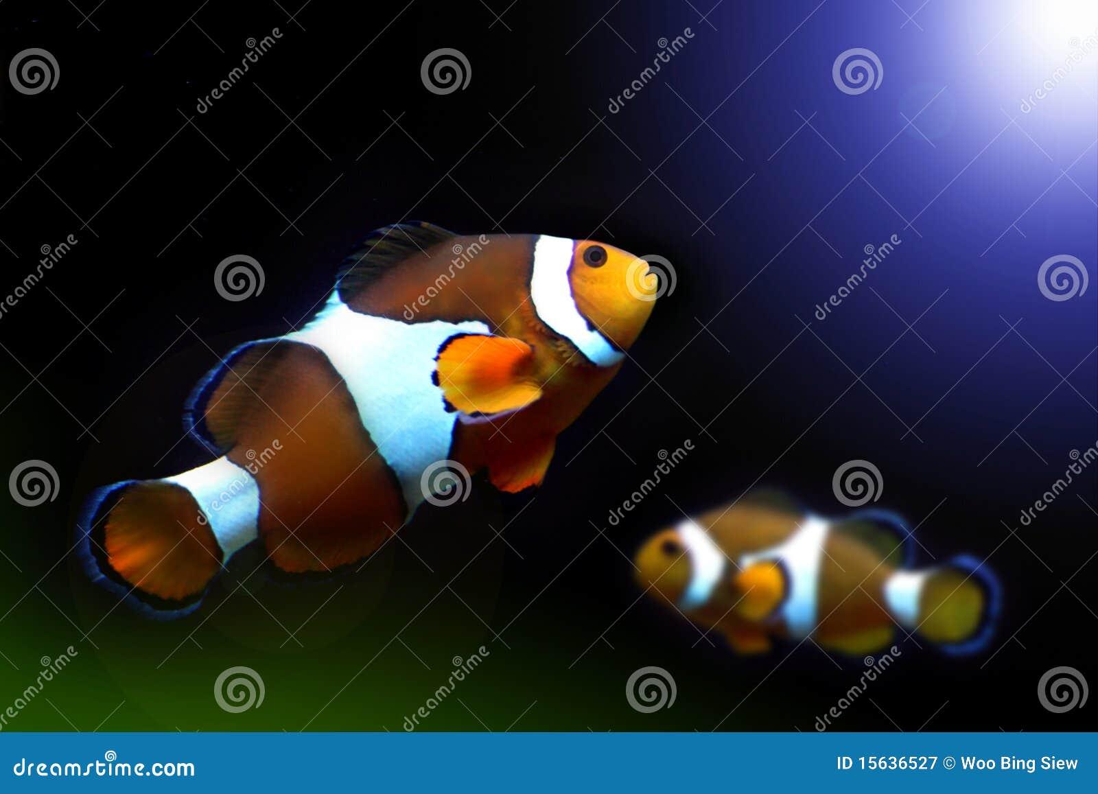 Nemo fish stock image image of aquarium lighting nature for Nemo light fish